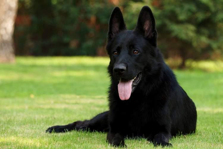 siyah kurt köpeği görmek