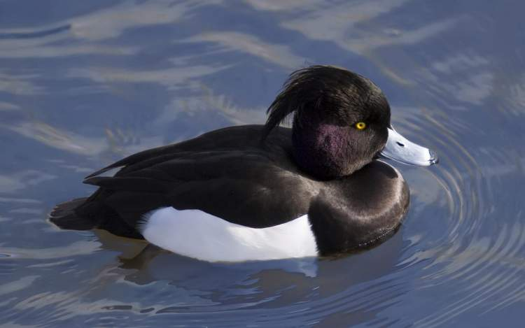 Rüyada Siyah Ördek Görmek