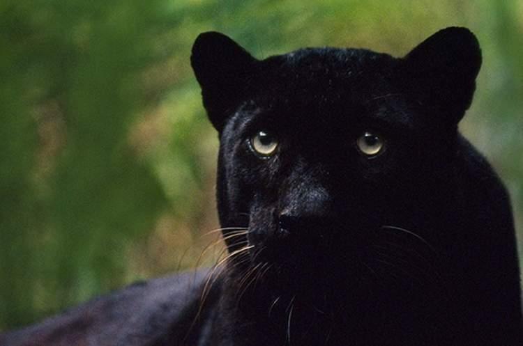 siyah panter görmek