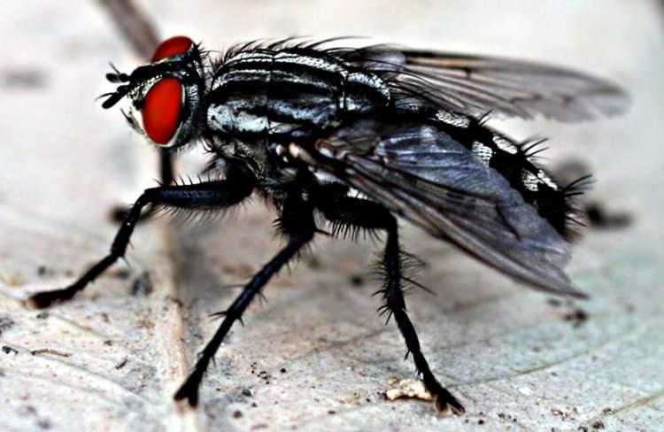 siyah sinek görmek