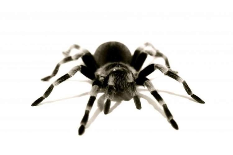 siyah tarantula görmek