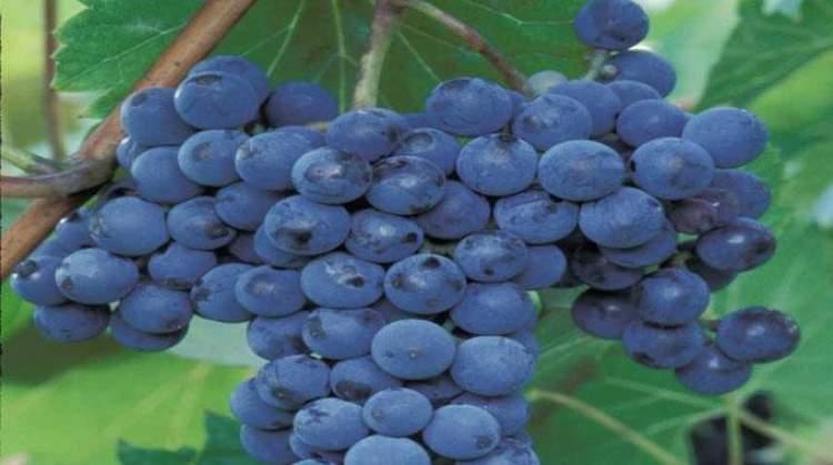 siyah üzüm toplamak