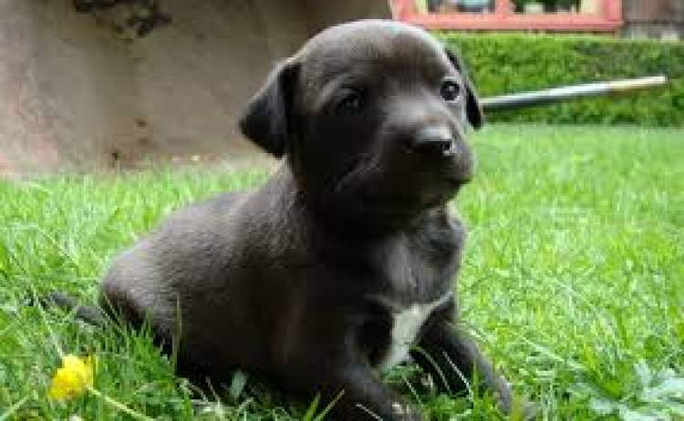 siyah yavru köpek görmek