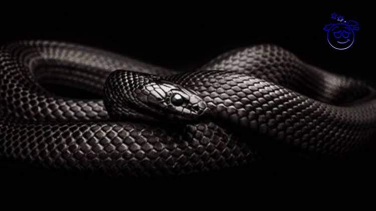 siyah yılan ısırması
