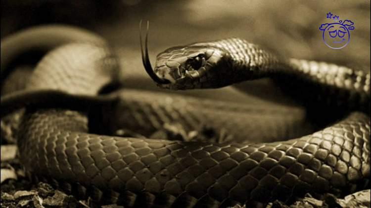 siyah yılan öldürmek