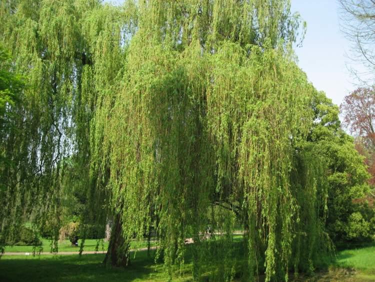 söğüt ağacı görmek