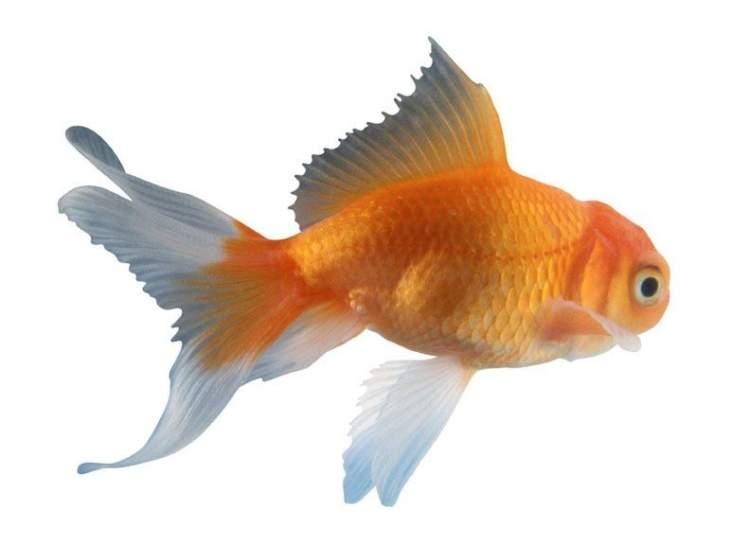 Rüyada Süs Balığı Görmek