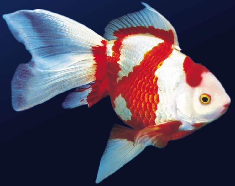 süs balık görmek
