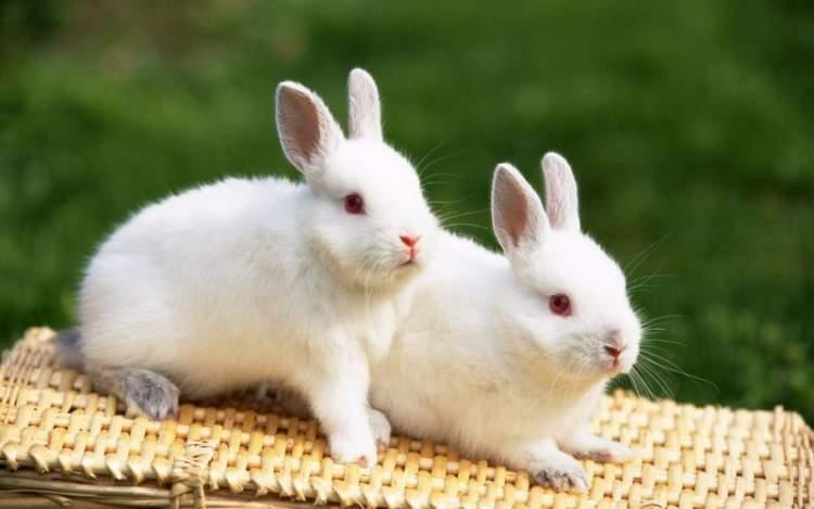 tavşan yakalamak