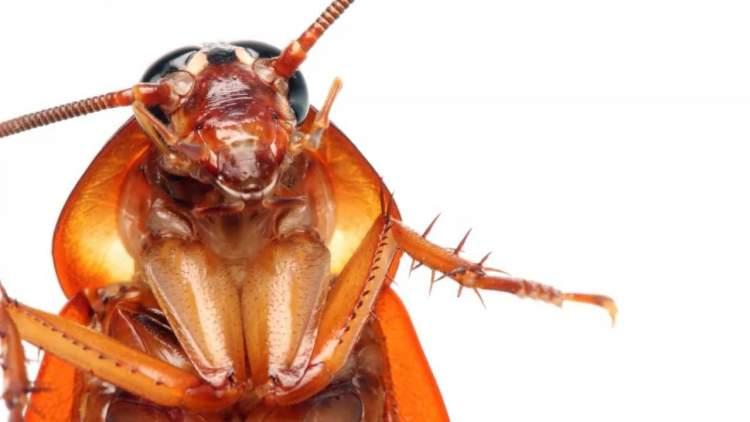 uçan hamam böceği görmek