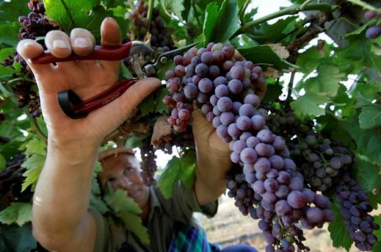 üzüm bağından üzüm toplamak