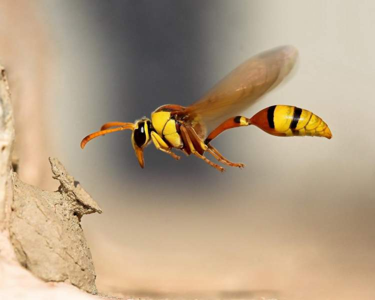 yaban arısı görmek