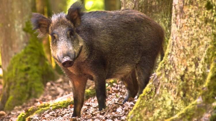 yaban domuzu görmek