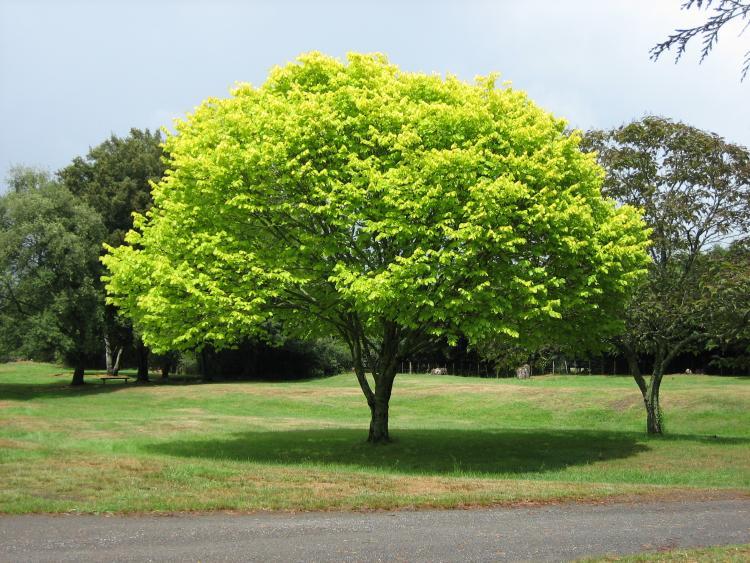 Rüyada Yeşil Ağaç Görmek