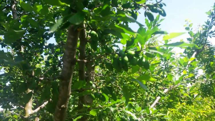 yeşil erik ağacı görmek