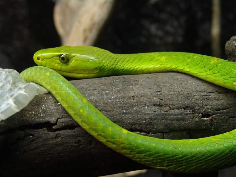 yeşil renk yılan görmek