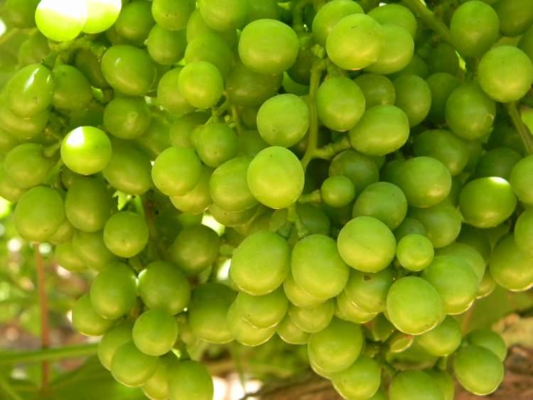 yeşil üzüm toplamak