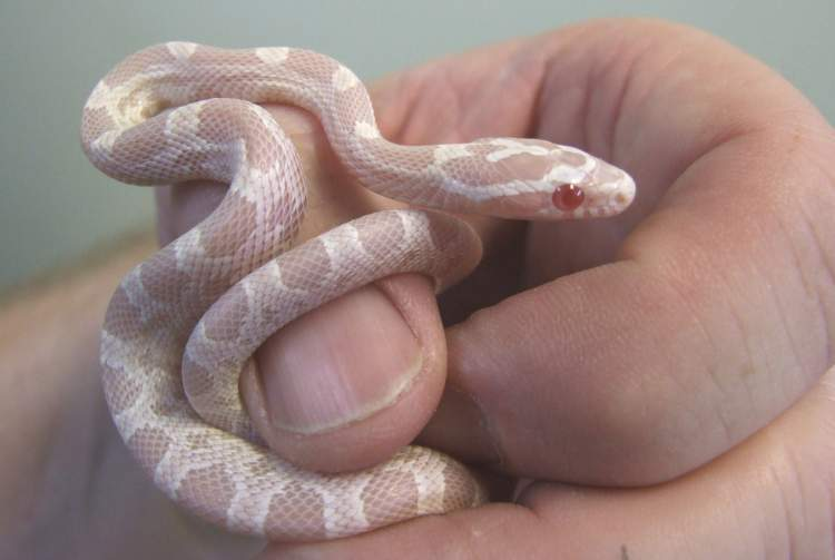 yılan beslemek