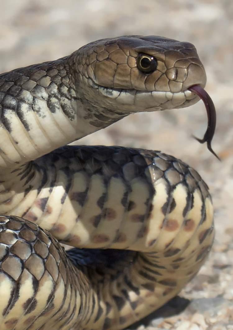 yılan kovalamak