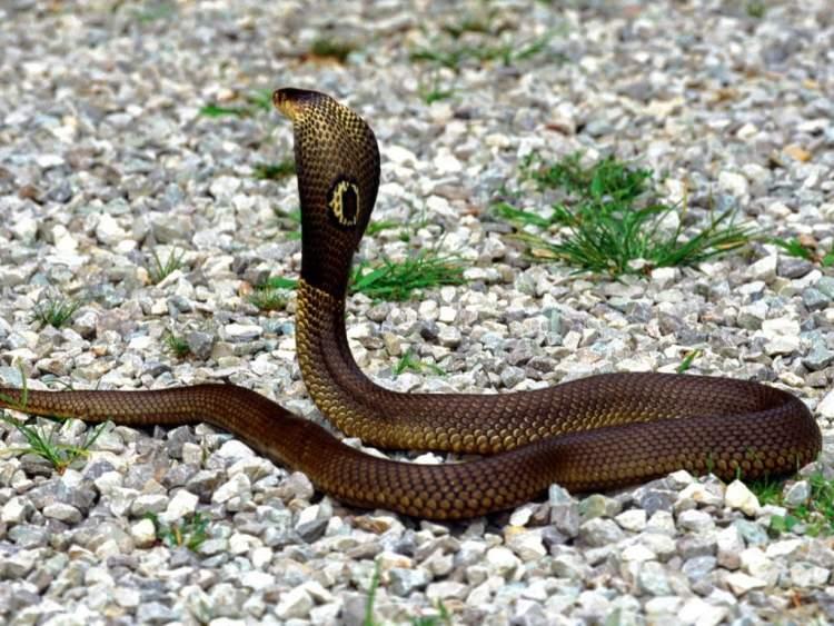 yılan taşlamak