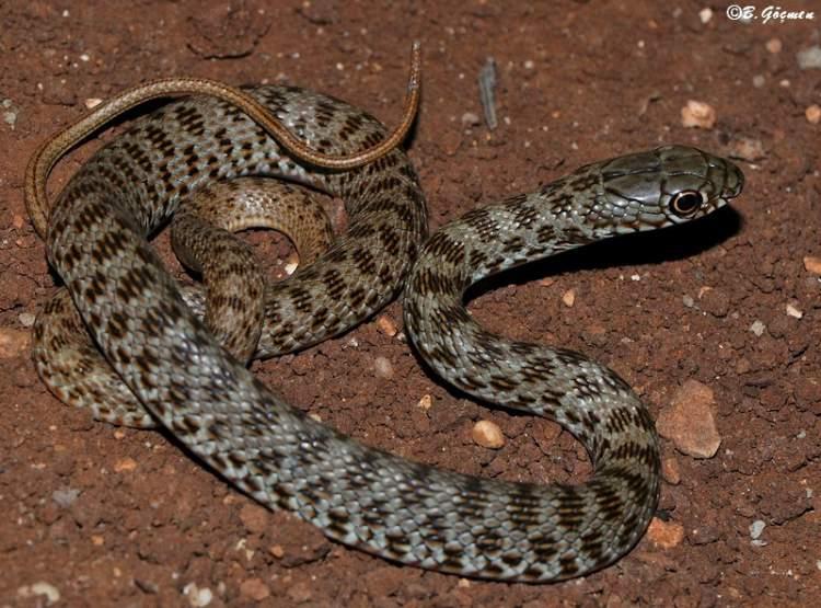 yılan yavruları görmek