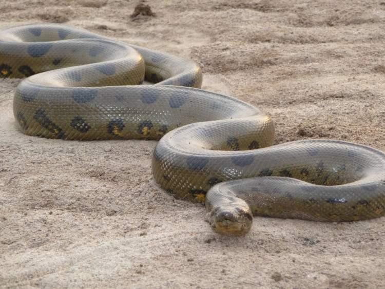 yılan yemek
