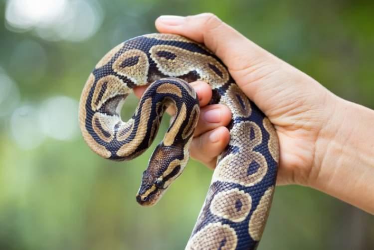 yılan yutmak