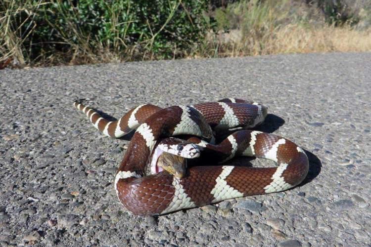yılan yuttuğunu görmek