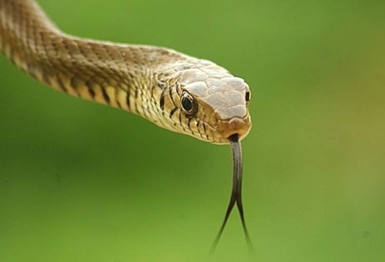 yılan zehri görmek