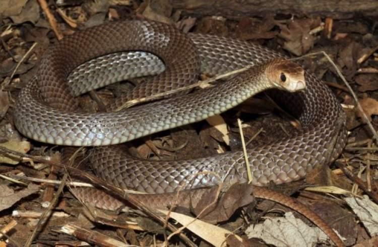 yılana su vermek