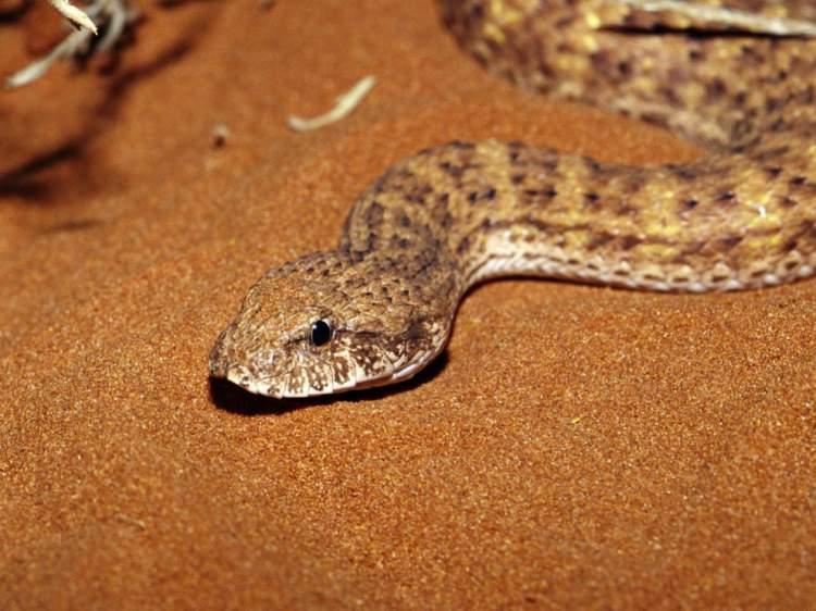 yılanın arkadan ısırması