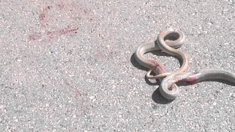 yılanın başını ezerek öldürmek