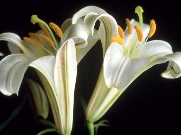 Rüyada Zambak Çiçeği Görmek
