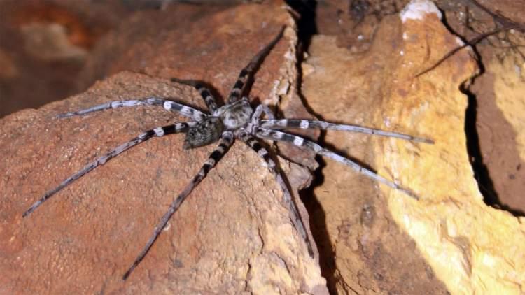 zehirli örümcek görmek