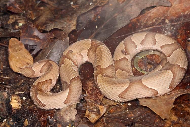 zehirli yılan görmek