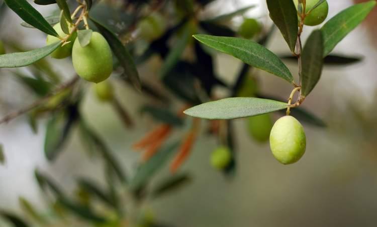 zeytin ağacı görmek