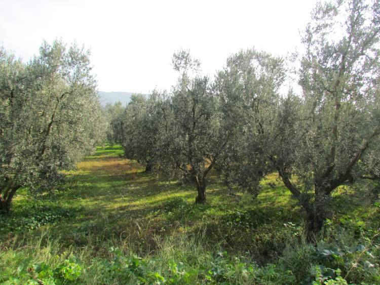 zeytin bahçesi görmek