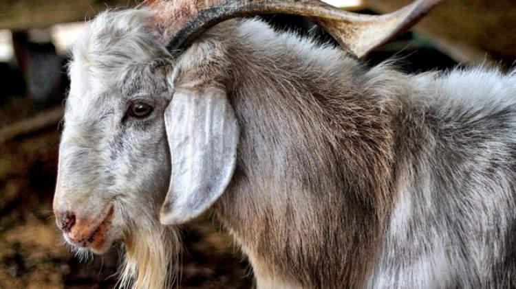 adak keçi kesmek
