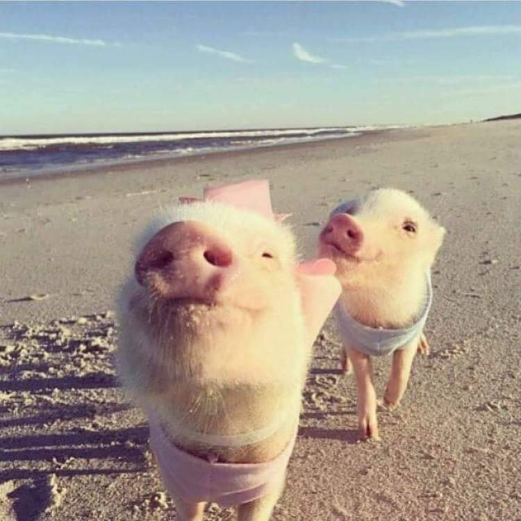 domuz yavrusu sevmek