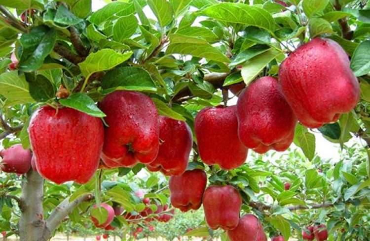 elma ağacı görmek elma yemek