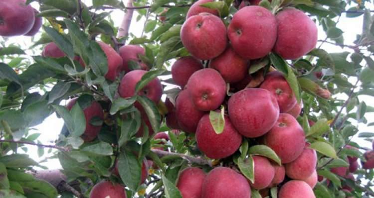 elma toplamak elma yemek
