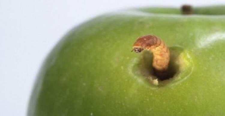elmanın içinden kurt çıkması