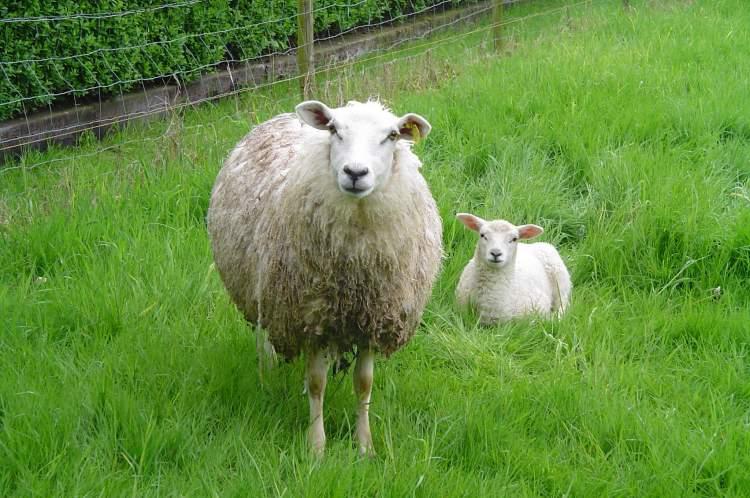 keçi koyun gütmek
