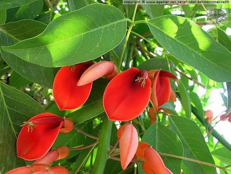 kırmızı çiçekli ağaç görmek