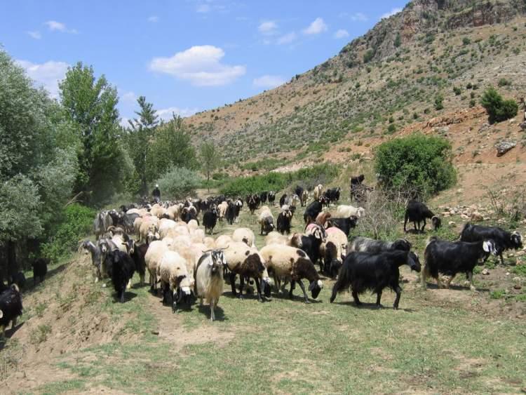 koyun keçi sürüsü otlatmak