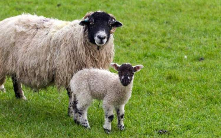 koyun ve koyun yavrusu görmek