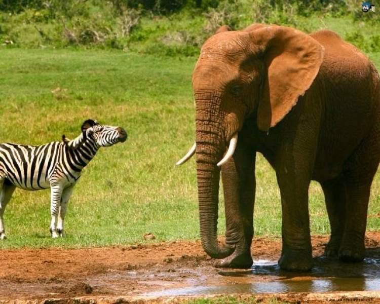 точное картинки жирафа слона зебры супов, соусов