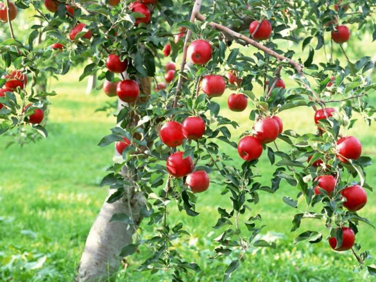 kuru ağaçtan meyve toplamak