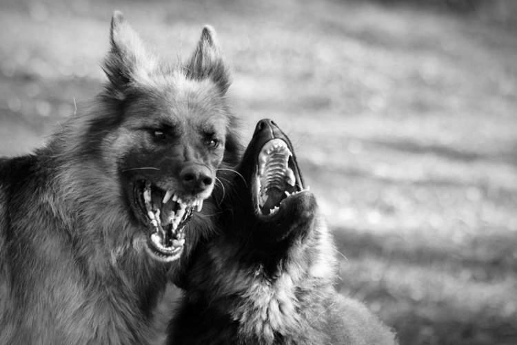 siyah köpek görmek ve saldırması