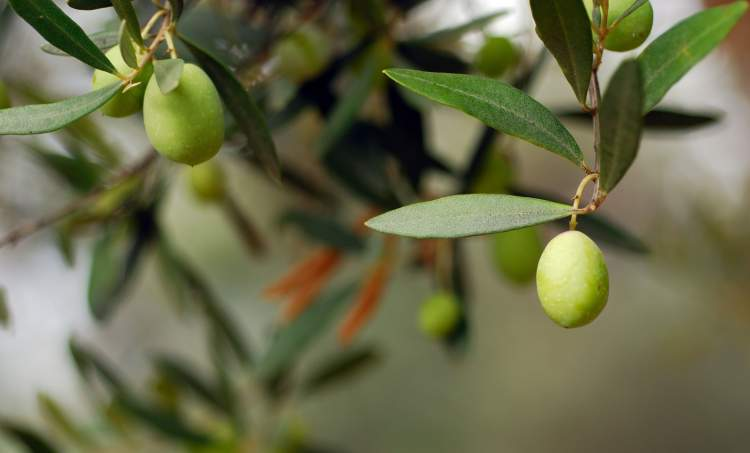 zeytin ağacı ve zeytin görmek